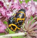 Labidomera clivicollis, mating  - Labidomera clivicollis - male - female