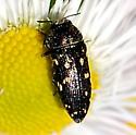 Brown Beetle - Acmaeodera tubulus
