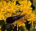 Saskatchewan Damsel - Nabis subcoleoptratus - female