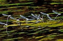 Mating frenzy! - Argia moesta - male - female