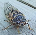 Bug ID. - Okanagana canadensis