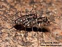 Cicindela sedecimpunctata? - Cicindelidia sedecimpunctata - male - female