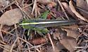 Unidentified grasshopper - Schistocerca lineata - female