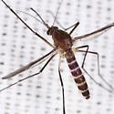 Culex Mosquito - Culex territans - female