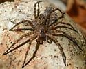 spider092917 - Dolomedes tenebrosus