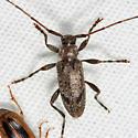 Longhorn Beetle - Eutrichillus biguttatus - male