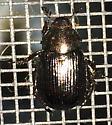 Small scarab - Exomala orientalis