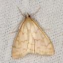 Moth - Hahncappsia pergilvalis