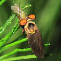Robber Fly - Holcocephala