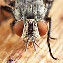 tachinid - Compsilura concinnata - female
