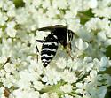 Bee Hunter - Philanthus politus - female