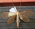 Hanging Fly - Bittacus pilicornis