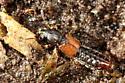 Rove Beetle - Bledius
