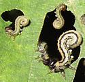 Sawfly larvae - Hemichroa crocea