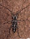 Beetle - Sarosesthes fulminans