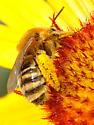 Bee 3-cells on Gaillardia - Melissodes - female