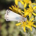 northern white skipper - Heliopetes ericetorum - male