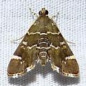 Hymenea perspectalis, Hodges #5169 ? - Hymenia perspectalis