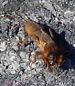 Mole Cricket? - Neocurtilla hexadactyla