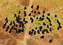 Eulophus sp. pupae - Eulophus