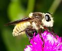Asilidae - Mallophora fautrix