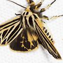 Little Virgin Tiger Moth - Hodges#8175 - Grammia virguncula