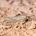 Crambidae - genus sp?? - Thaumatopsis magnificus