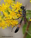 Wasp - Ammophila procera