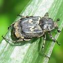 Black and white beetle - Valgus