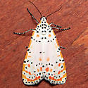 Utetheisa ornatrix