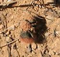 Dasymutilla sp? - Dasymutilla aureola - female