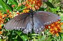 Pipevine Swallowtail (Battus philenor)?  - Battus philenor