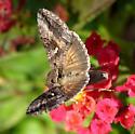 Metallic moth - Rachiplusia ou