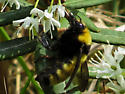 Northern Amber Bumble Bee?? - Bombus borealis