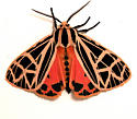 Parthenice Tiger Moth - Hodges#8196 - Grammia parthenice