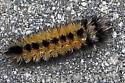 Caterpillar2020-01 - Ctenucha virginica