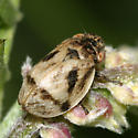 Spittle Bug - Lepyronia coleoptrata