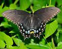 Femal Black Form - Papilio glaucus - female