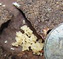 tiny termite - Reticulitermes - female