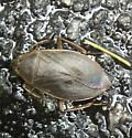 Giant Water Bug?
