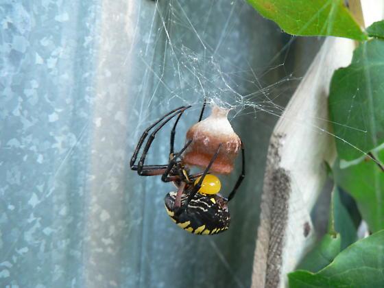 argiope laid her egg - Argiope aurantia - female