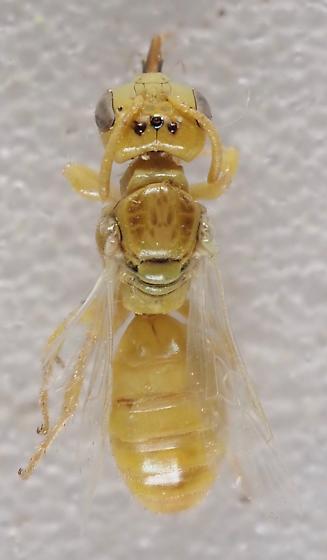 Unknown Perdita species - Perdita