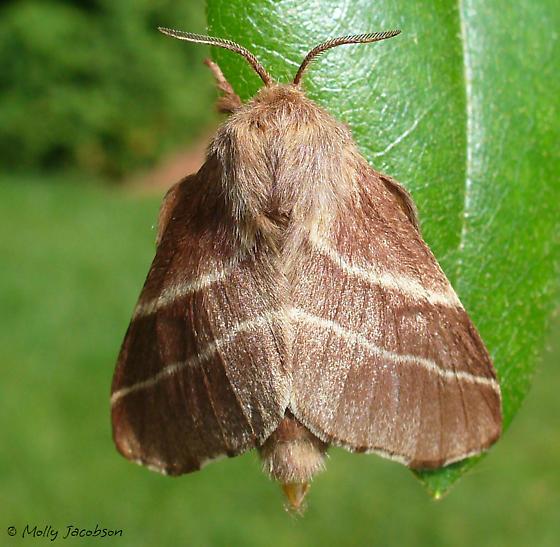 Malacosoma americana - female