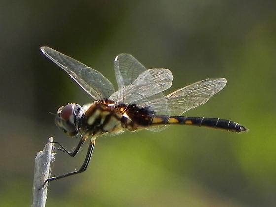 dragonfly ID help needed - Macrodiplax balteata - male