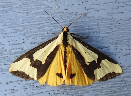 Haploa clymene - Clymene Moth - Hodges#8107 - Haploa clymene
