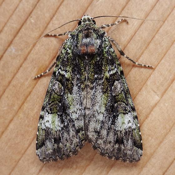 Noctuidae: Anaplectoides prasina - Anaplectoides prasina