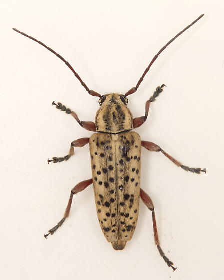 Cerambycid - Atimia huachucae