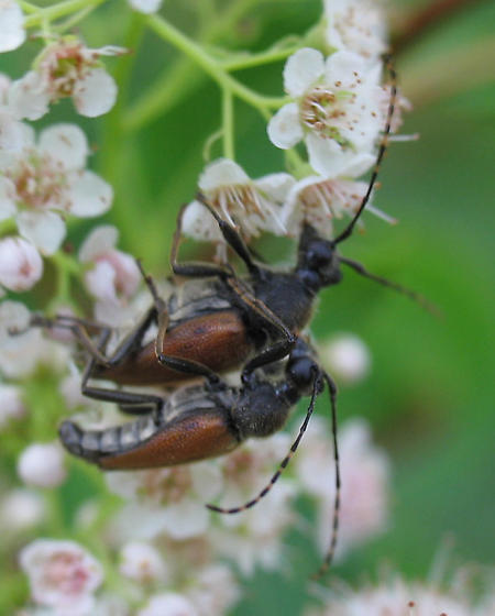 B. champlaini? - Brachyleptura champlaini - male - female
