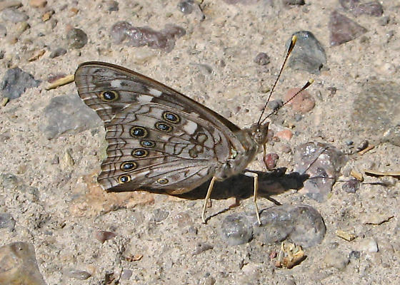 Small Butterfly - Asterocampa leilia - male