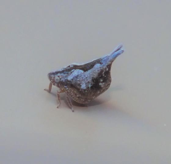 Weird thorn mimicing hopper - Mistharnophantia